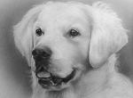 Hundeportrait-zeichnung