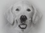 portraitzeichnung hund